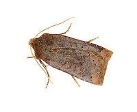 Dark Chestnut - Conistra ligula