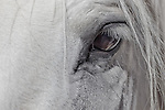 Eye of a white horse.