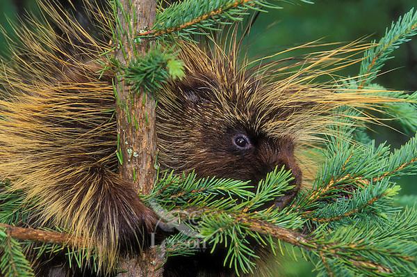 PORCUPINE in spruce tree..Autumn. Rocky Mountains..(Erethizon dorsatum).