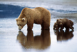 A mother brown bear leads her triplets across one of the Alaska Peninsula's many tidal flats where they stay close to her side and watch her every move.