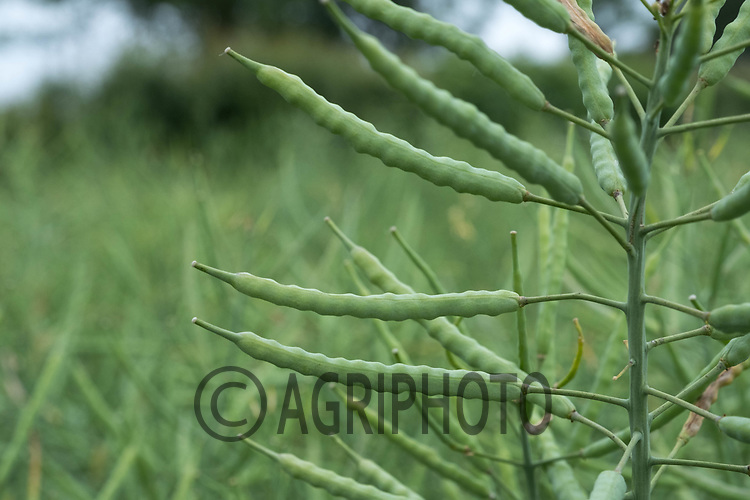 Oilseed rape in pod<br /> &copy;Tim Scrivener Photographer 07850 303986<br /> ....Covering Agriculture In The UK....