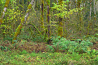 ORCAN_D253 - USA, Oregon, Cascade Range, Wildwood Recreation Site, Lush grove of red alder thrives in seasonally flooded area.