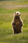 A mother brown bear in Lake Clark National Park, Alaska, June 24,  2008.  She stands upright to get a better vantage point of the meadow where she and her cub feed on grass. There are large male bears in the area and they are a threat to her cub.  Photo by Gus Curtis.