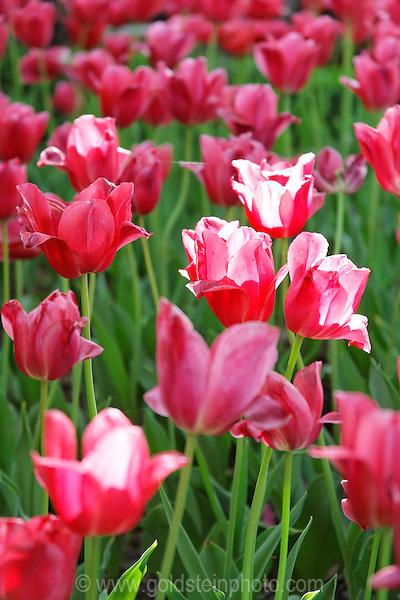 Tulips in Middleburg Virginia