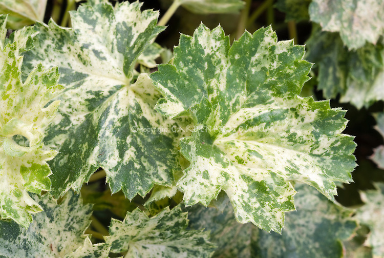 Variegated green and white foliage of Heuchera americana Snowstorm