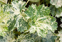 Variegated green and white foliage of Heuchera americana Snowstorm