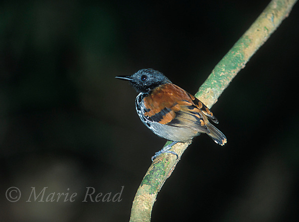 Spotted Antbird (Hylophylax naevioides), male, Soberania National Park, Panama<br /> Slide B101-318