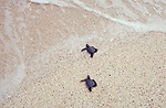 Baby sea turtle leaving nest, Galapagos Islands, crawling to water, hazardous part of journey, high mortality