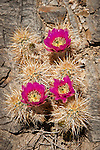 Strawberry Hedgehog cactus flower in bloom in the Kingston Range of Southern California. (Echinocereus engelmannii)  aka-calico cactus