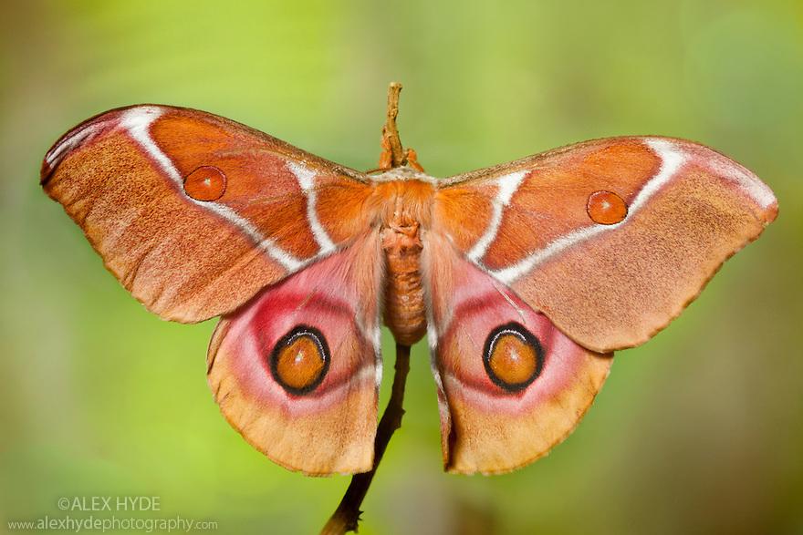 Suraka Silk Moth {Antherina suraka}. Maroantsetra, Northeast Madagascar