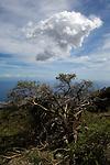 Twisted wind shaped tree branches.Granadilla, Tenerife, Canary Islands