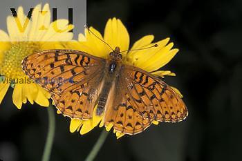 Atlantis Fritillary Butterfly (Speyeria atlantis) California