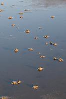 Wattwurm, Watt-Wurm, Pierwurm, Sandpier, Sandpierwurm, Köderwurm, Sandhäufchen auf Wattboden, im Watt, bei Ebbe, Niedrigwasser, Arenicola marina, European lug worm, blow lug