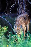 Wild coyote stares thru grass.  Western U.S., June.