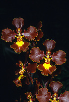 Gomesia Cloud Ears aka Oncidium Cloud Ears: (Gomesia forbesii x gravesiana = Grafo) x Enderanum. Orchid hybrid of Crispa group