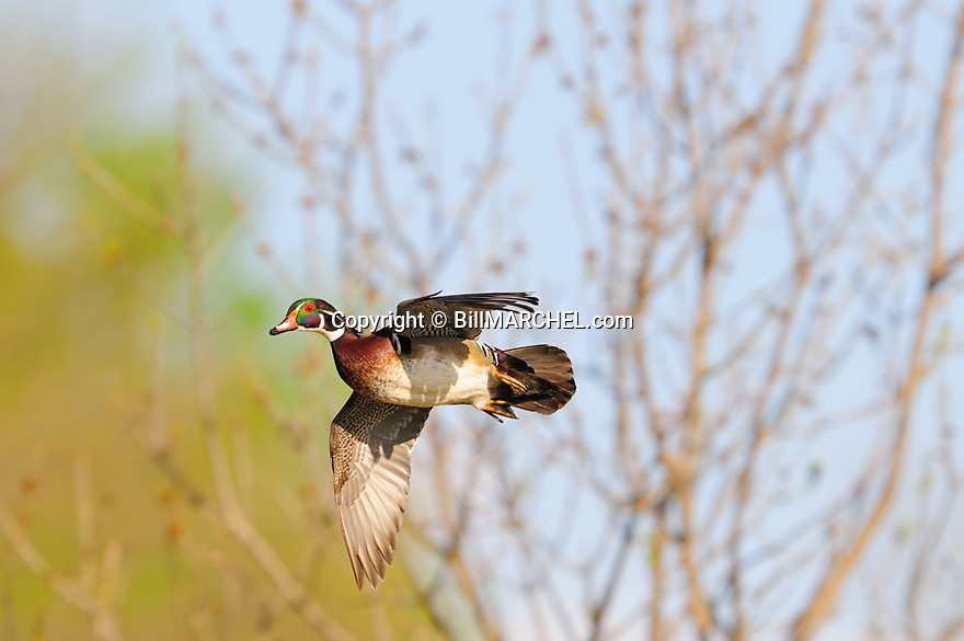 00360-112.09 Wood Duck in flight is about to land.  Trees in background.  Hunt, waterfowl, wetlands.