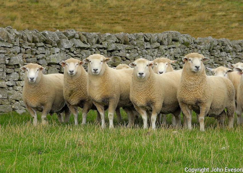 David Mactaggart, Hallrule, Bonchester Brisge, Hawick, Roxburghshire...Romney tups.