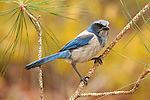 Florida Scrub Jay, Aphelocoma coerulescens, on branch..USA....