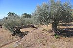 Olive trees growing on terraces, Aldenueva de la Vera, La Vera, Extremadura. Spain