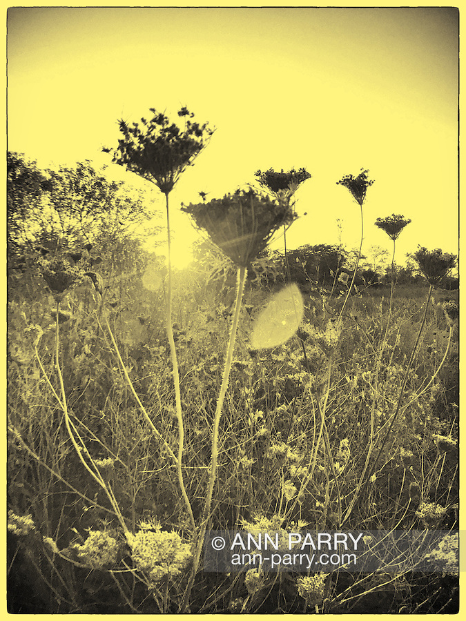 Merrick, New York, USA. September 22, 2016. On First day of Autumn, the Autumnal Equinox, Queen Anne's lace, Daucus carota, are silhouetted in the warm dusk sun, at Norman J. Levy Park and Preserve, on the South Shore of Long Island. Ambrotype filter