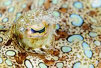 Peacock flounder eye, Bothus lunatus, Bonaire, Caribbean Netherlands, Caribbean