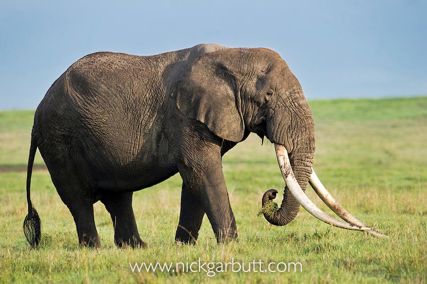 Bull African Elephant (Loxodonta africana) grazing on the floor of the Ngorongoro Crater, Ngorongoro Conservation Area, Tanzania.