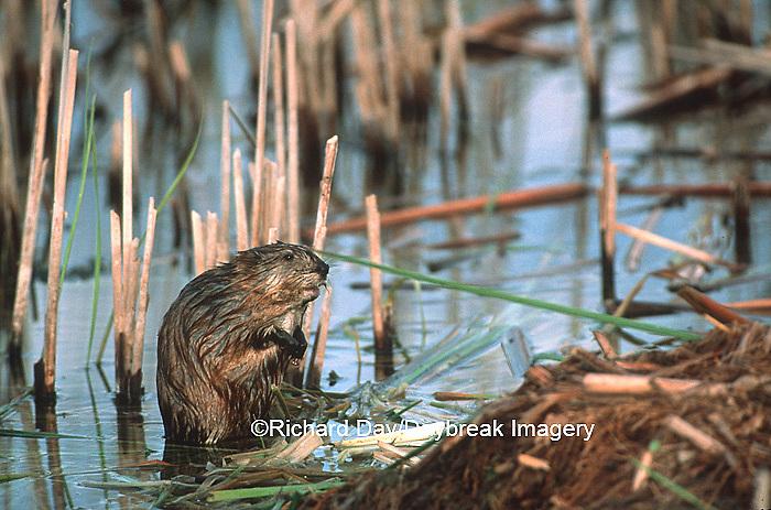 02184-002.02  (Dupe) Muskrat (Ondatra zibethicus) in wetland Waubay NWR Mgmt Area Waubay SD