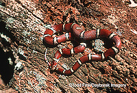 02834-001.10 (TF)  Red Milk Snake (Lampropeltis triangulum)    IL