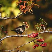 Ringdrossel, Ring-Drossel, Weibchen frisst an Vogelbeere, Eberesche, Beere, Beeren, Früchte, Turdus torquatus, ring ouzel, Le Merle à plastron