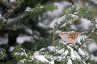 01588-008.18 American Tree Sparrow (Spizella arborea) in Balsam fir tree in winter, Marion Co. IL