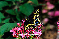 03009-00909 Black Swallowtail (Papilio polyxenes) on Pink Pentas (Pentas sp.) Marion Co.  IL