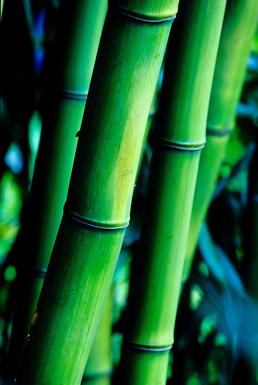 Close-up of stand of green bamboo (Phyllostachys bambusoides) with blue leaves behind, Stanley Park, Vancouver, BC.
