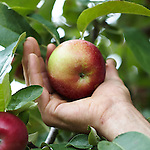 New Salem Preserves in New Salem, MA. An heirloom apple orchard on 125 acres overlooking the Quabbin Reservoir in central Massachusetts.