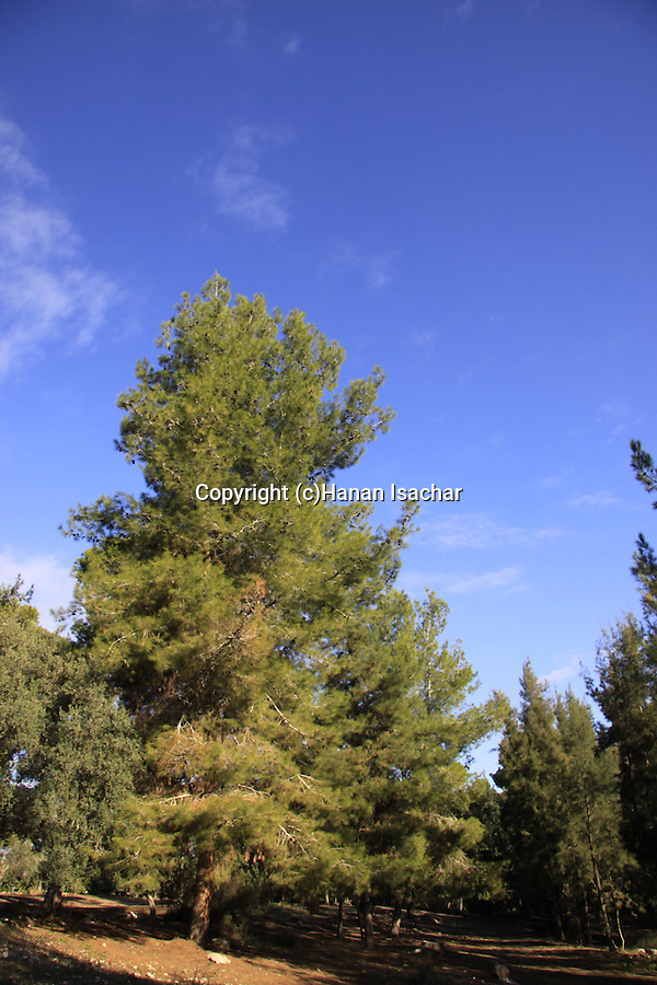 Israel, Shephelah, Pine Trees in Hulda forest