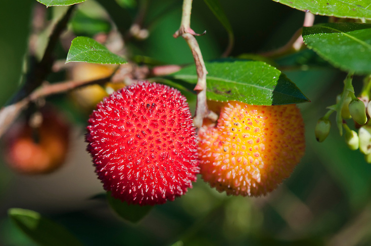 Fruits of strawberry tree 'Elfin King' (Arbutus unedo), late September.
