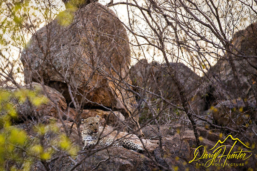 A mother leopard lounging on the rocks close to her den in Kruger National Park.