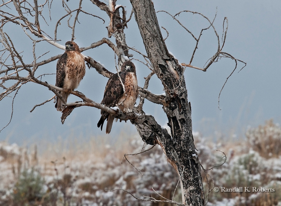 A pair of red tailed hawks survey the scene in Grand Teton National Park, Wyoming