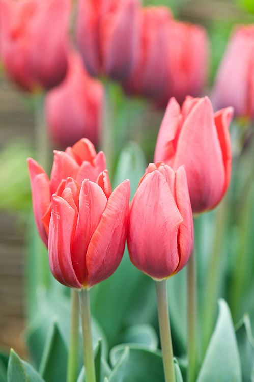 Tulipa 'Couleur Cardinal' (Triumph Group).