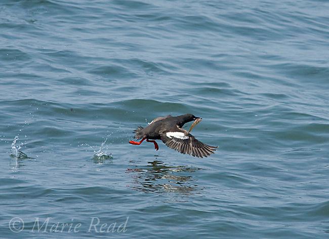 Pigeon Guillemot (Cepphus columba), taking flight from water carrying a fish, Santa Cruz, California, USA
