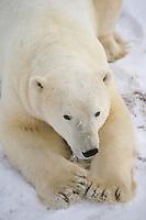 Polar bear (Ursus maritimus) Portrait