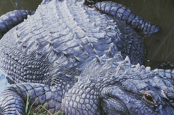 American Alligator (Alligator mississipiensis), adult, Myrtle Beach, South Carolina, USA