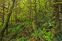 Lush growth in old growth coastal rain forest <br /> Golden Ears Provincial Park<br /> British Columbia<br /> Canada
