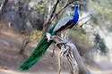 India, Rajasthan, Ranthambhore National Park, male peacock on fallen tree