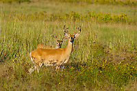White-tailed Deer bucks (Odocoileus virginianus) in velvet.  Western U.S., summer.