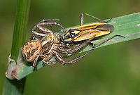 crab spider Xysticus cristatus<br /> with bug prey