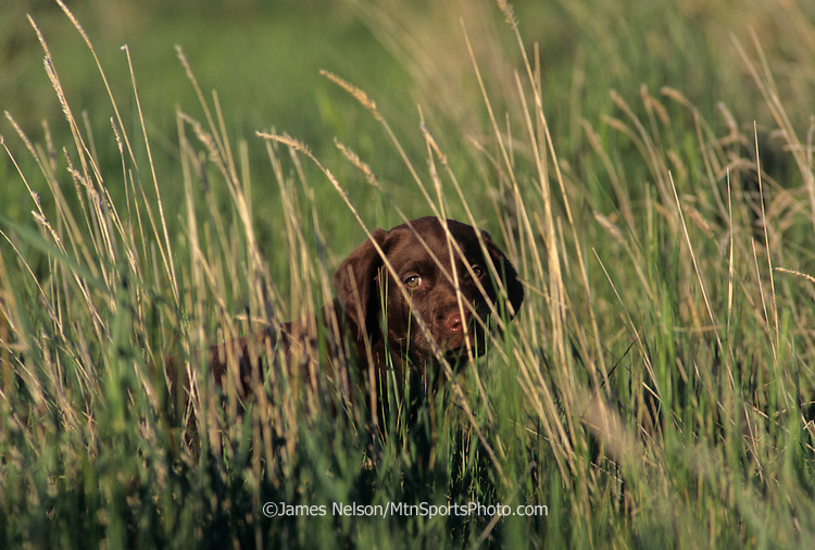 34-221. A chocolate Labrador puppy peers through the grass.