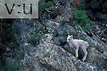 A Dall sheep on a mountain hillside. (Ovis dalli) Alaska, USA