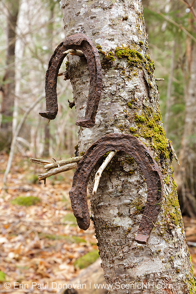 Old horseshoes, protected artifacts, hanging in a tree at logging Camp 2 of the abandoned Sawyer River Railroad. Incorporated in 1875, the Sawyer River Railroad was a ten-mile long logging railroad in the New Hampshire White Mountains town of Livermore. The removal of historical artifacts from federal lands without a permit is a violation of federal law.