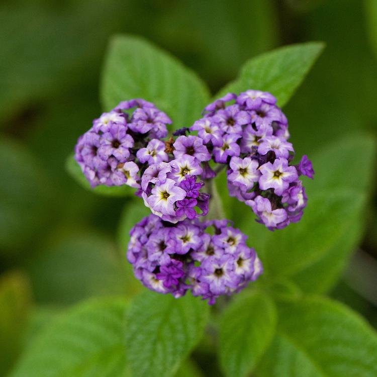 Purple heliotrope (Heliotropium arborescens 'Lord Roberts'), early September.