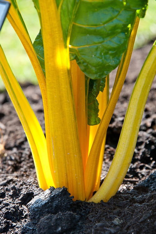 Yellow-stemmed Swiss Chard 'Bright Lights'.